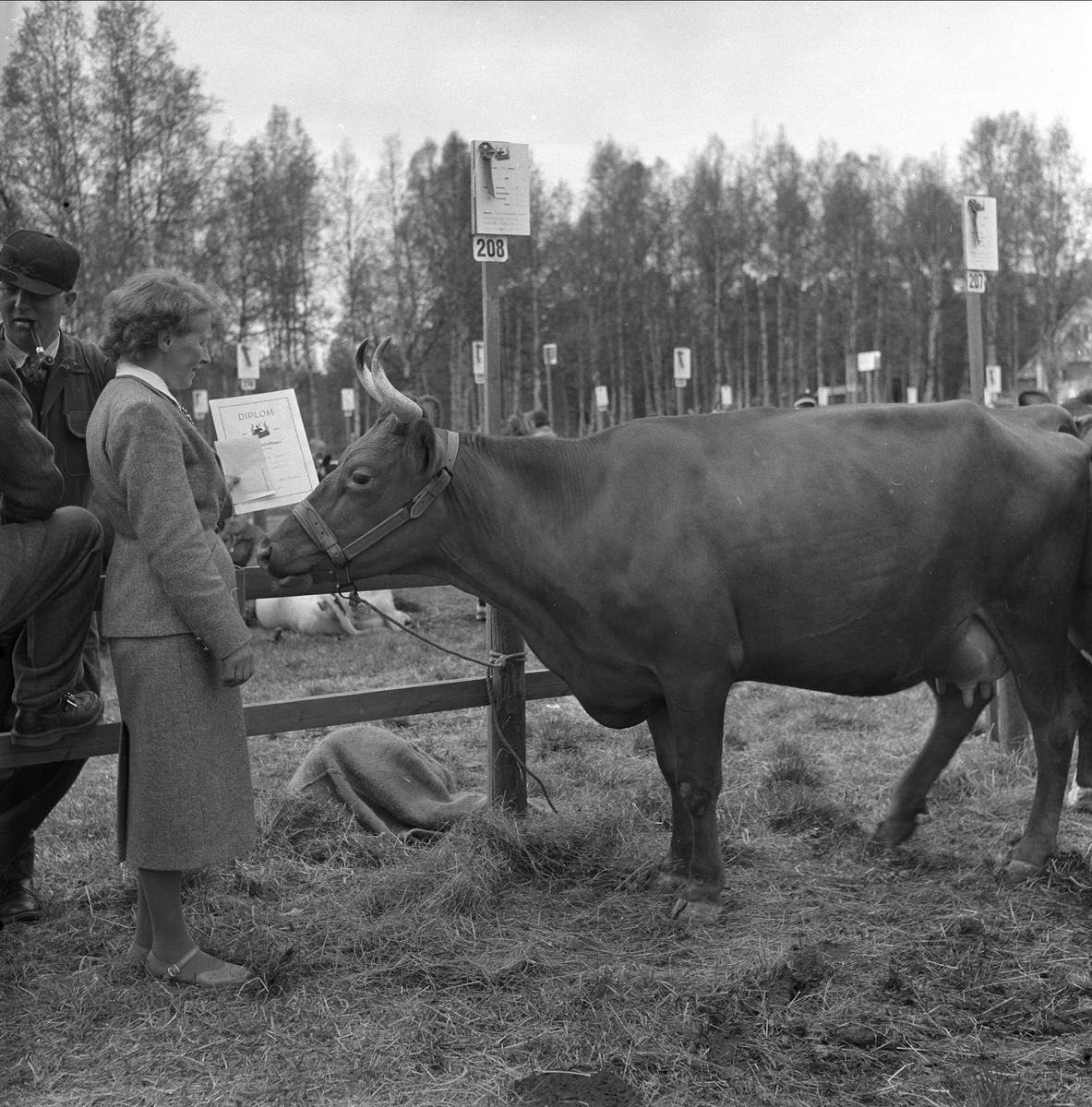 Tolga, Hedmark, 14.08.1958. Fesjå. Bedømming av ku.