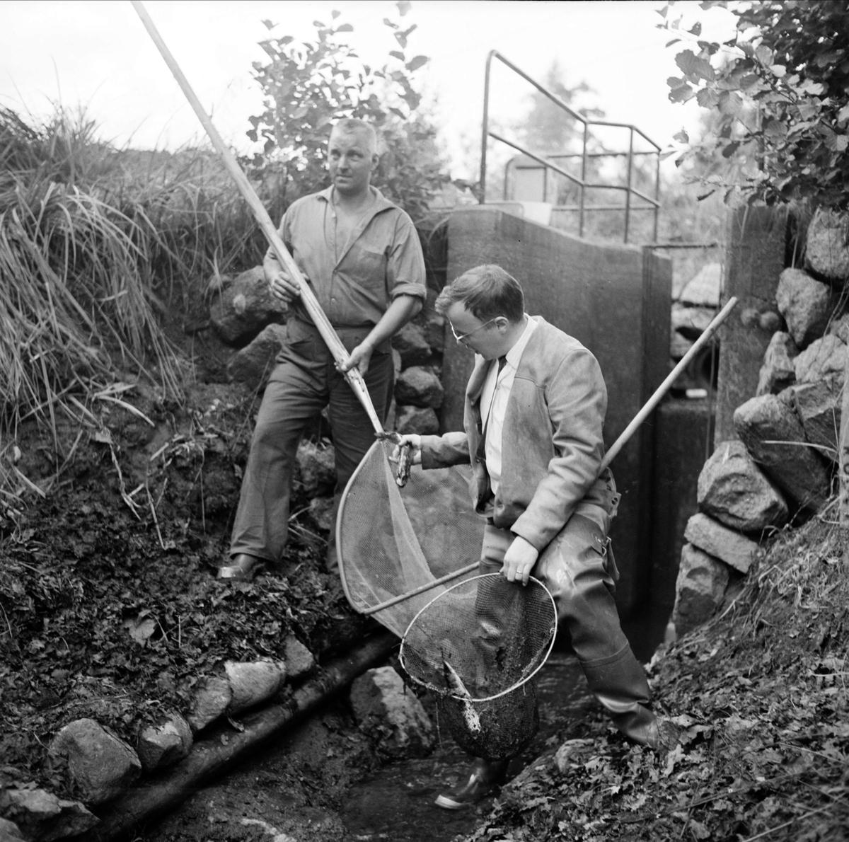 """""""Mer laxöring i Söderfors odlingskanal"""" - fiskmästare Börje Johansson och kassör Johnny Selander, Söderfors, Uppland augusti 1966"""