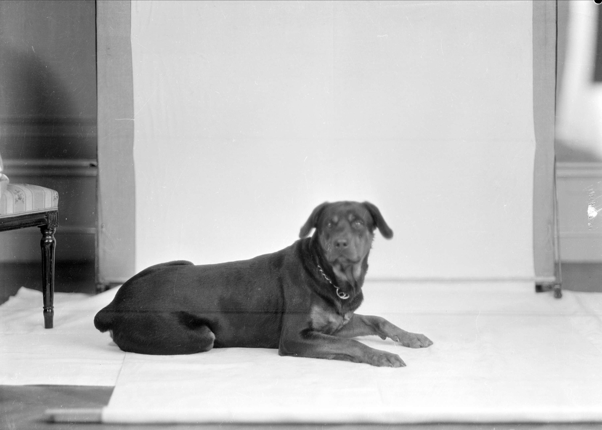 Familjen Gunnar Sundgrens hund