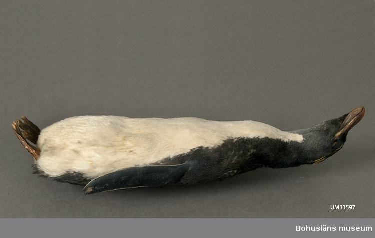 """Eudyptes chrysocome, Klipphopparpingvin?  Skinnlagd fågel fylld med troligtvis linblånor och bomullsvadd. Varje fot är sammansydd, troligtvis för att tårna inte ska spreta isär.  I en tryckt redogörelse """"Museum för Bohus Län 1861"""" finns en förteckning över Musei-föreningens medlemmars gåvor och bidrag där följande uppgifter finns att hämta: Hedberg, J., Fru, Uddevalla: 2 fossila tänder, 2 hval-fenor, 2 pingvin-skinn, 2 koraller, en kokosnöt, en ödla, en skorpion, mynt m.m. I samlingarna har länge funnits två omärkta skinnlagda pingvinskinn utan uppgifter. Inför 150-årsfirandet av museets/samlingarnas tillkomst har vi diskuterat oss fram till att det med största sannolikhet bör vara dessa två skinn (UM31596 och UM31597) som år 1861 skänktes av fru J. Hedberg.  Kan det vara Olof Hilmer Hedbergs moder Johanna Maria Winding, gift med handelsman Anders J:son Hedberg, Uddevalla, som skänkt föremålen? Sonen Hilmer Hedberg (1817-1884) emigrerade till Australien år 1838. Se UM701, UM728, UM729 m.fl."""