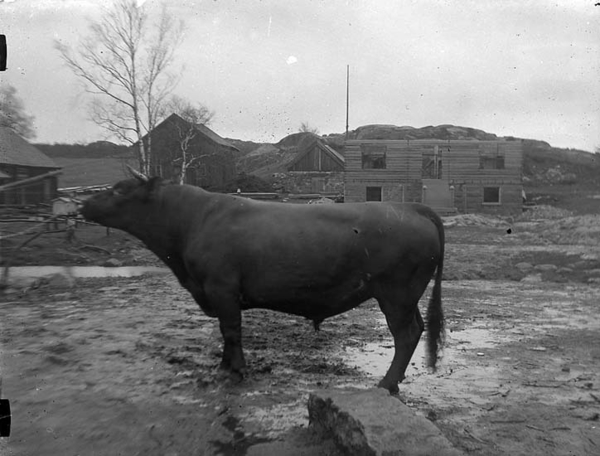 Lantbrukare dodades av tjur