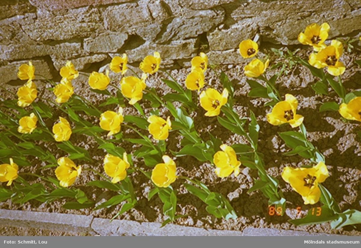 Gula blommor i en rabatt som växer vid en stenmur.