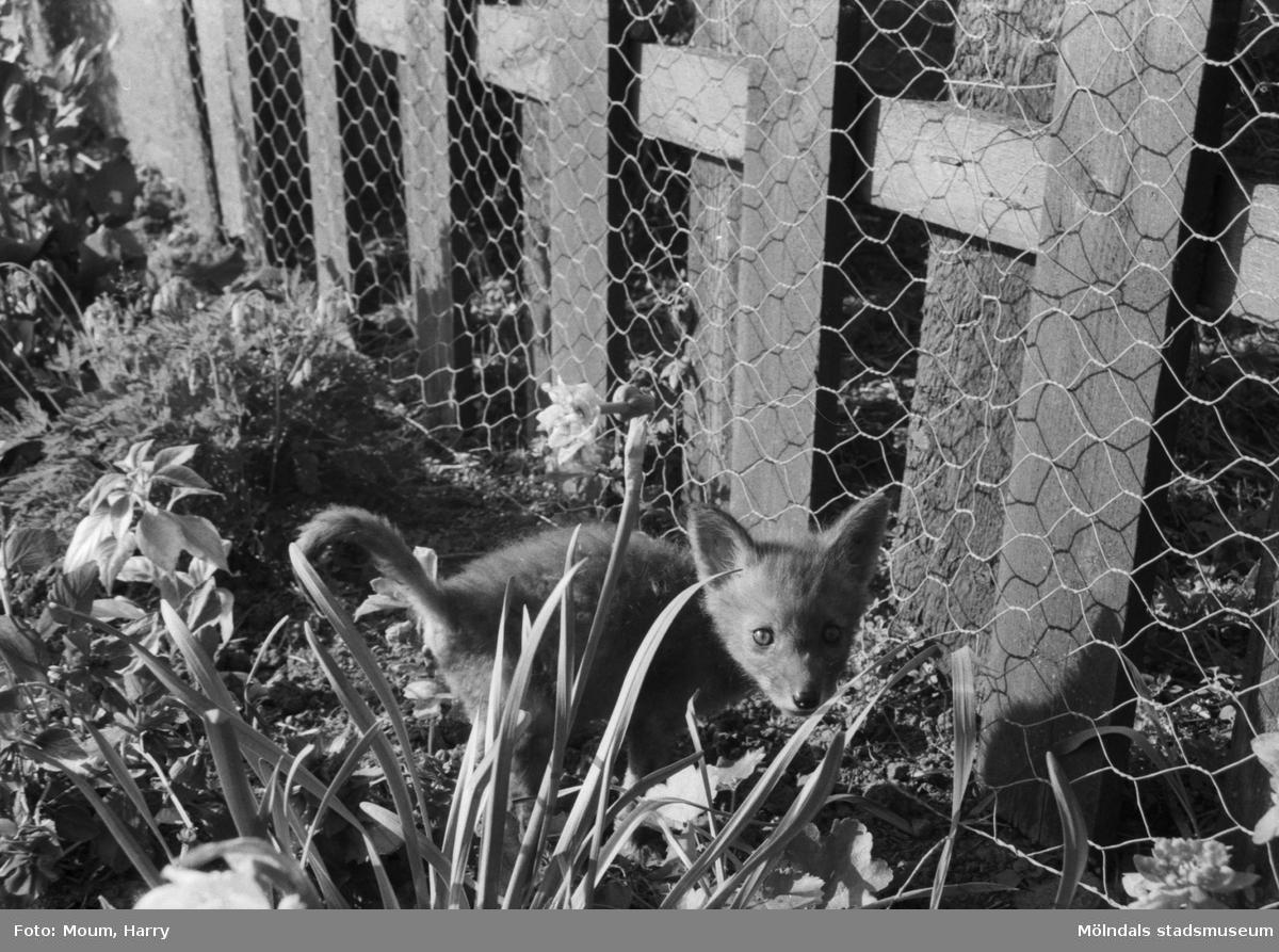 """Rävungar hos familjen Ovring i Hassungared, Lindome, år 1984. """"Gjort var det här. Vad glor du efter din dumma fotograf?""""  För mer information om bilden se under tilläggsinformation."""