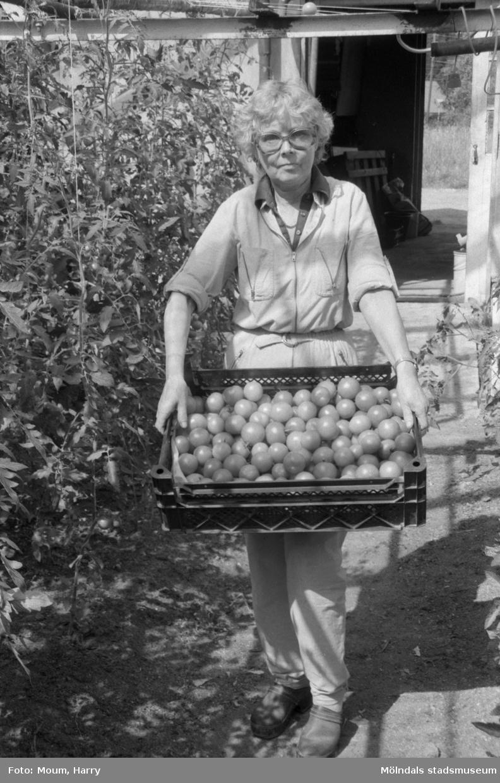 """""""Nyskördade tomater. Maj Britt Karlström har nu bråda dagar när tomaterna skall skördas."""" Mölndal, år 1984. Fotografi taget av Harry Moum, HUM, för publicering i Mölndals-Posten, vecka 31, år 1984."""