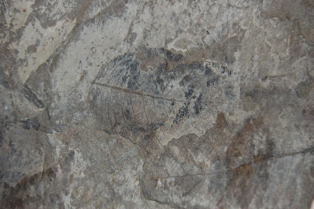 Steinavtrykk av fossil.
