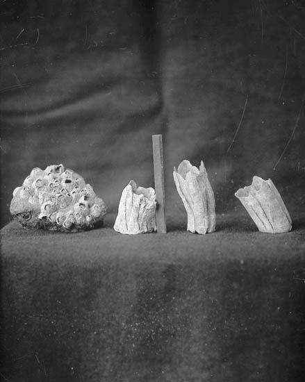Olika skal av havstulpaner fotograferade i ateljé