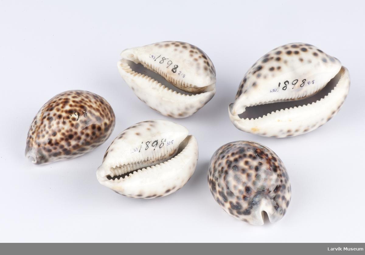 5 stk. muslinger (Cypraca) fra tropiske farvann
