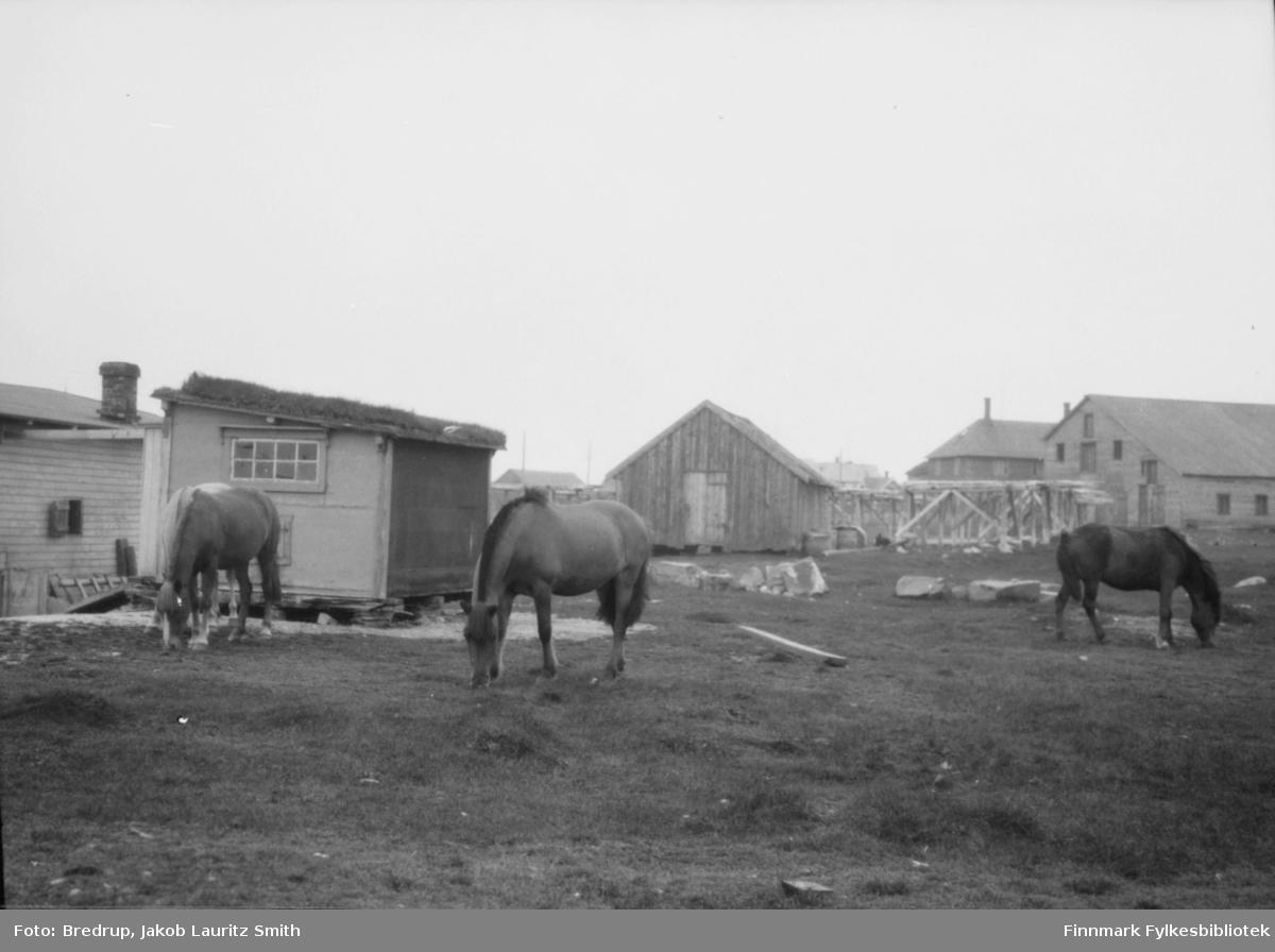 Tre hester beiter i ytrebyen i Vadsø mot sjøen i området der Erling Zahl (fjæra-Zahl) bodde.  Vi ser et bolighus, et naust, fiskehjeller og et pakkhus i bakgrunnen av bildet.