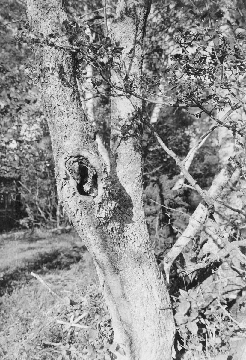 Boplats för halsbandsflugsnappare, Muscicapa collaris. Löväng i Klinte 8 juni 1918.