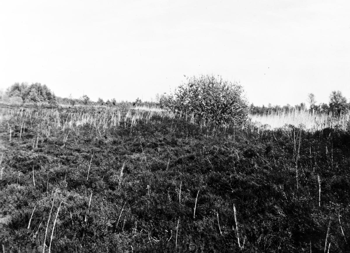 Häcknjngsterräng för  Ängshök(Circus pygargus) Nära vägen Skanör-Falsterbo 15 Maj 1923