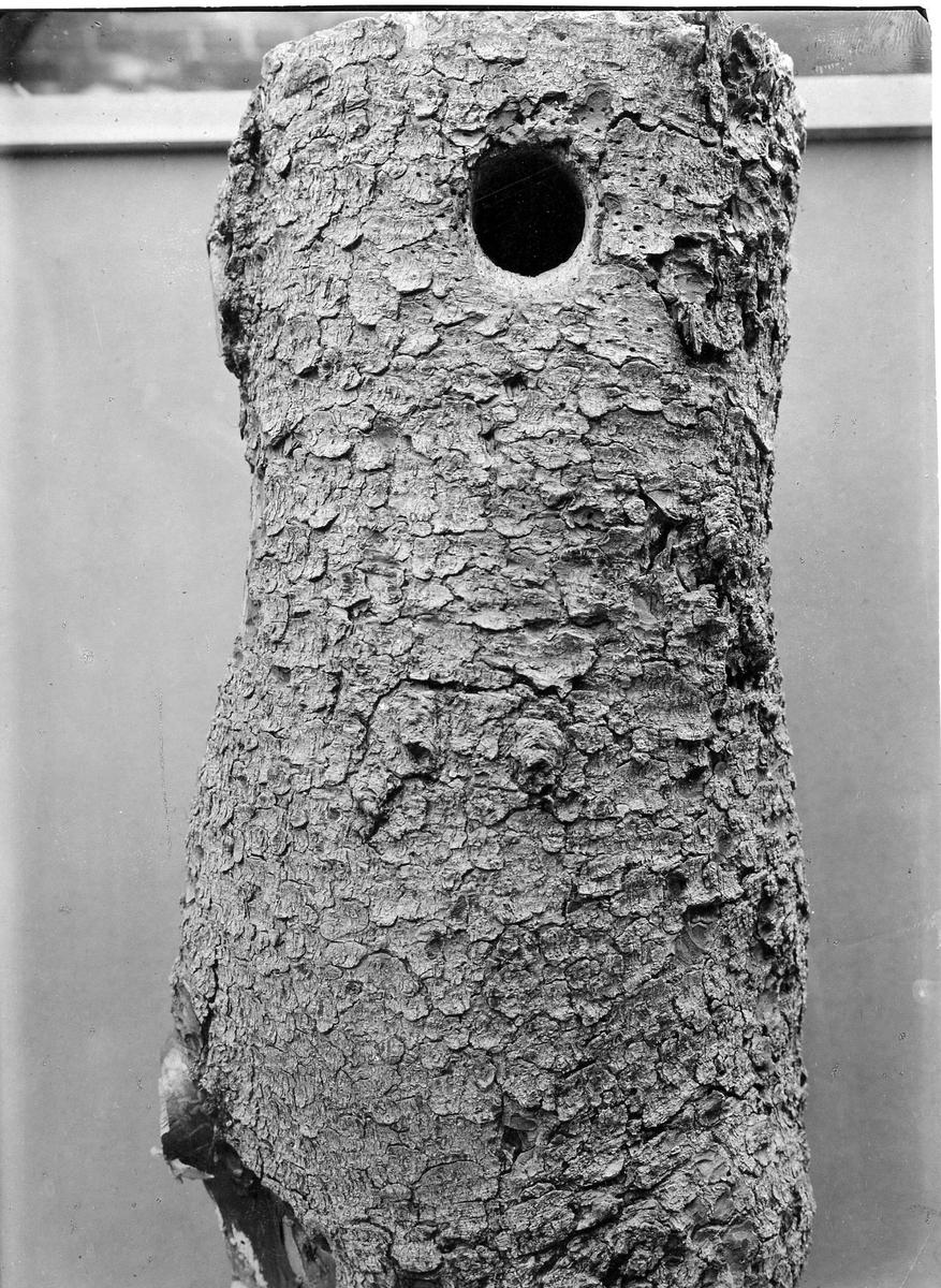 Bo av Tretåig Hackspett, (Picoides t. tridactylus) 1915