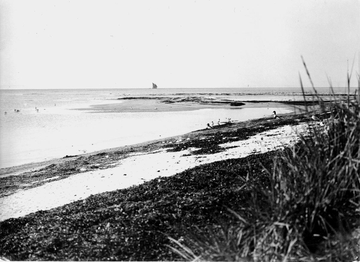 Gravänder och skrattmåsar.             10/6-1917.