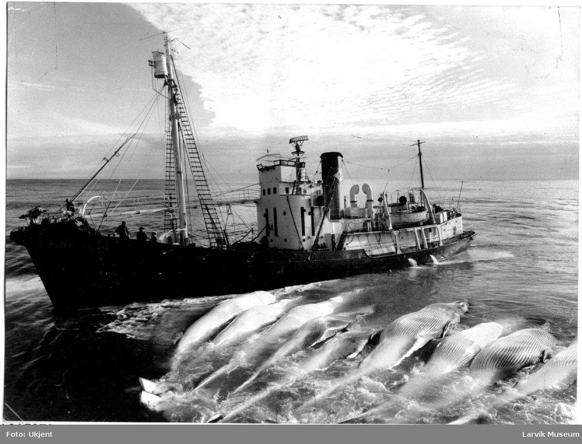 """fartøy, hvalbåt, """"Pol XI"""""""