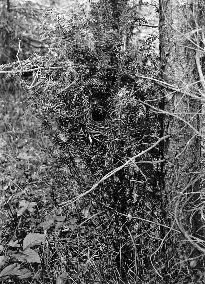 Bo av Nordsångaren (Phylloscopus borealis)