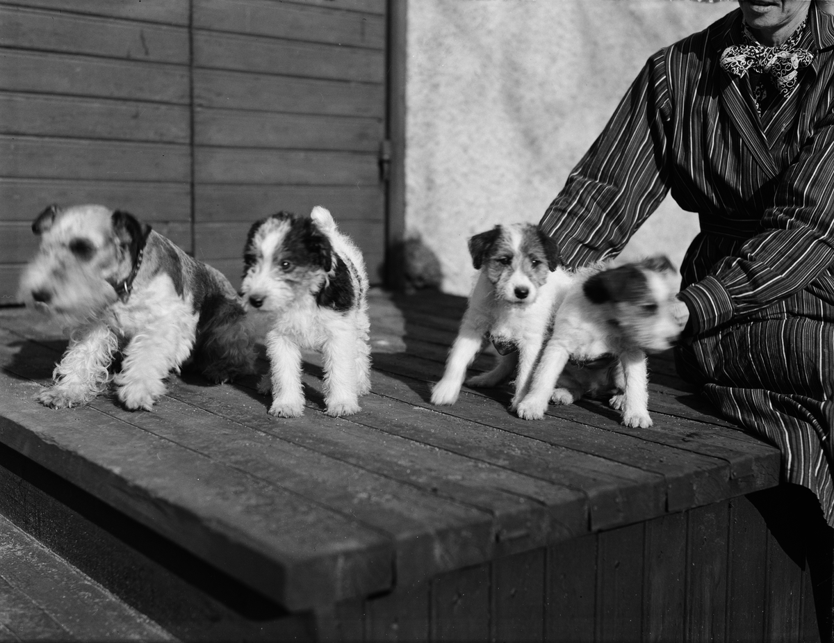 Hundvalpar, Uppsala 1937
