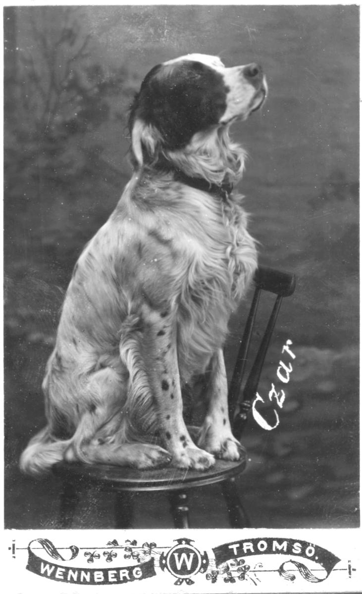 """Portrett av en hund, muligens en engelsk setter ved navn """"Czar."""" Hunden sitter på en stol og er fotografert i halvprofil mot en malt landskapsbakgrunn. Fotografert i fotostudio hos fotograf J. W. Wennberg i Tromsø."""