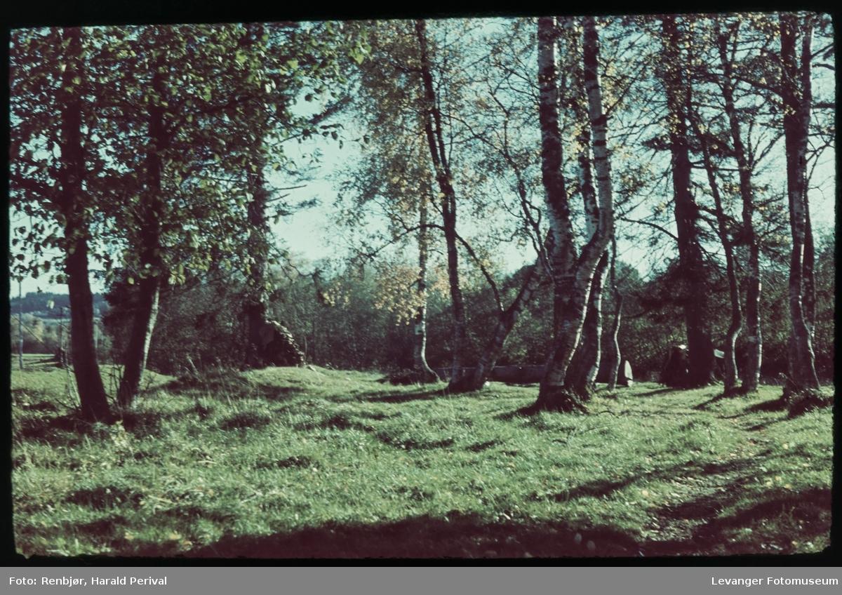 Bjørketrær.
