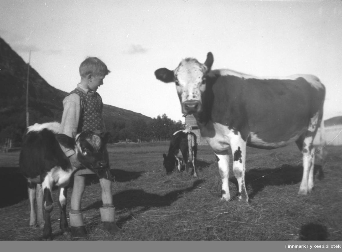 Ku og to kalver på Mikkelsnes. Gutten er Per Olsen, barnebarn av Aksel Konrad Mikkola