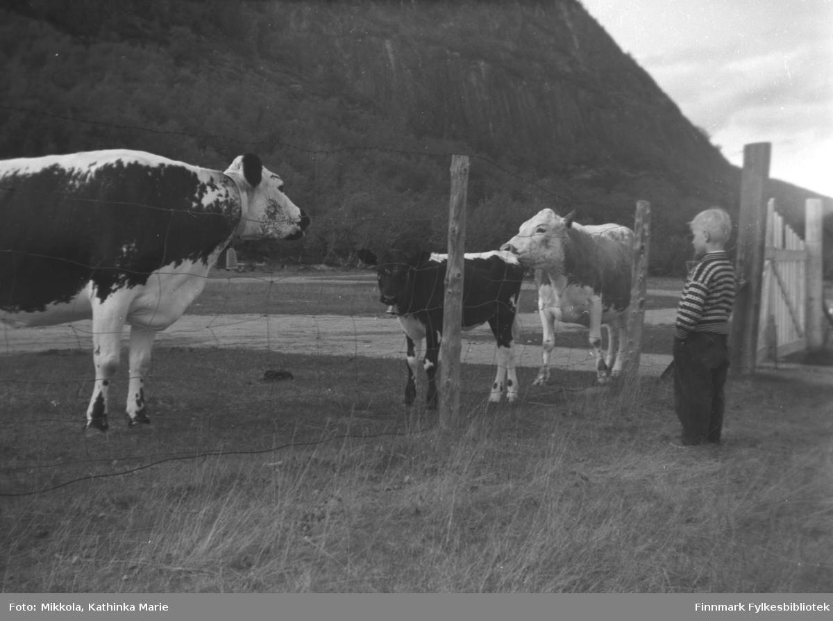 Sture Olsen Lie står ved hovedporten til gården Mikkelsnes i Neiden der kyrne og en kalv går og beiter. Bildet er tatt ved samme anledning som 05007-001.