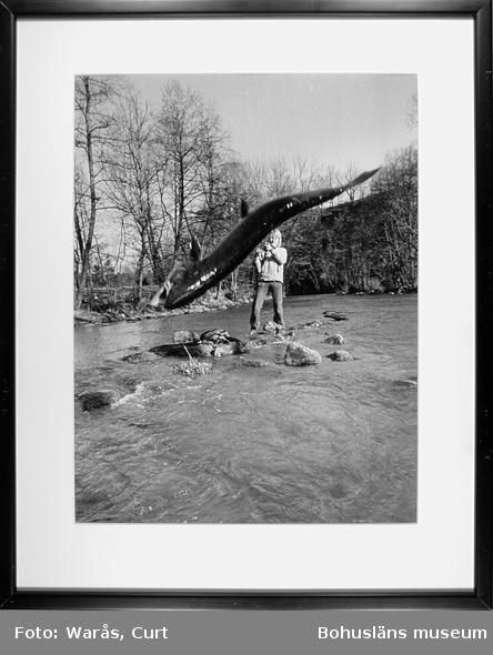 Laxfiske i Örekilsälven, Munkedal, januari 1973