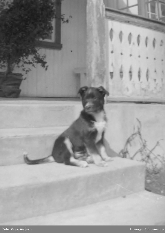 Hundehvalp på trapp