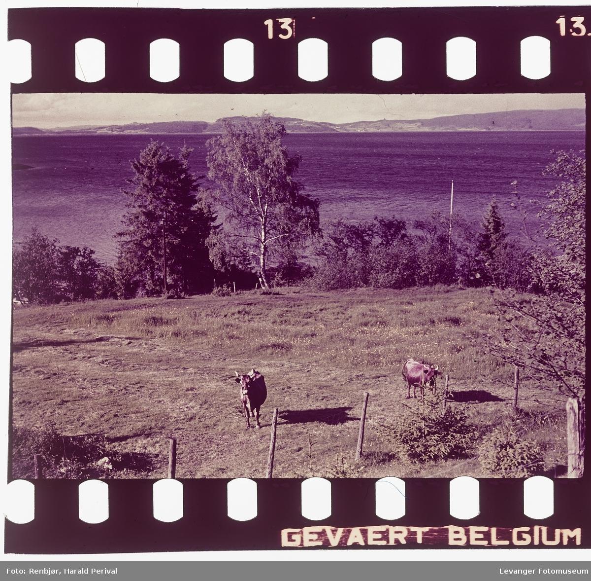 Kyr på Nesset.Bilder fra Nesset.