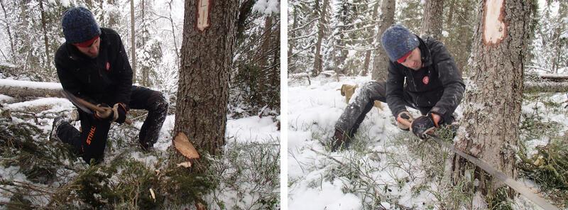 Tradisjonelt skogsarbeid. Magnus Wammen feller gran til snekkersmia med øks og svans. (Foto/Photo)