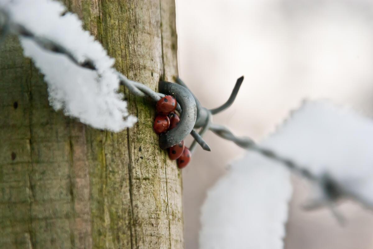 Marihøner klynger seg sammen for bedre beskyttelse mot frost. Foto: Jason / Marihøner klynger seg sammen for bedre beskyttelse mot frost. Foto: Jason
