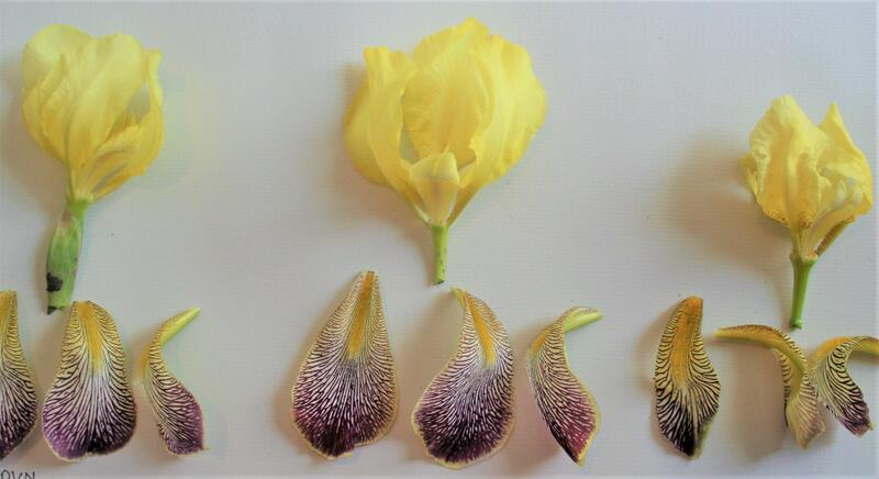 GH 2005 16 Iris variegata fra Høland (Foto/Photo)