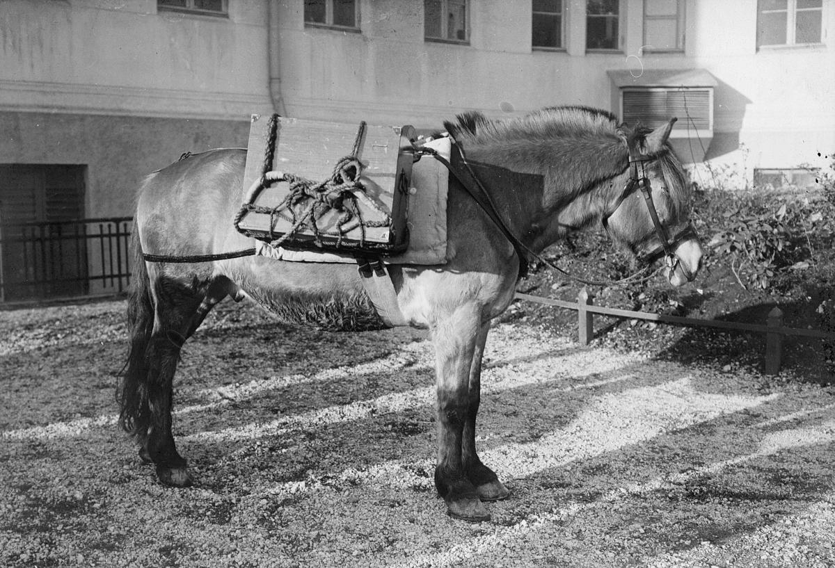 transport, hest, feltpost Stavanger, kløvhest