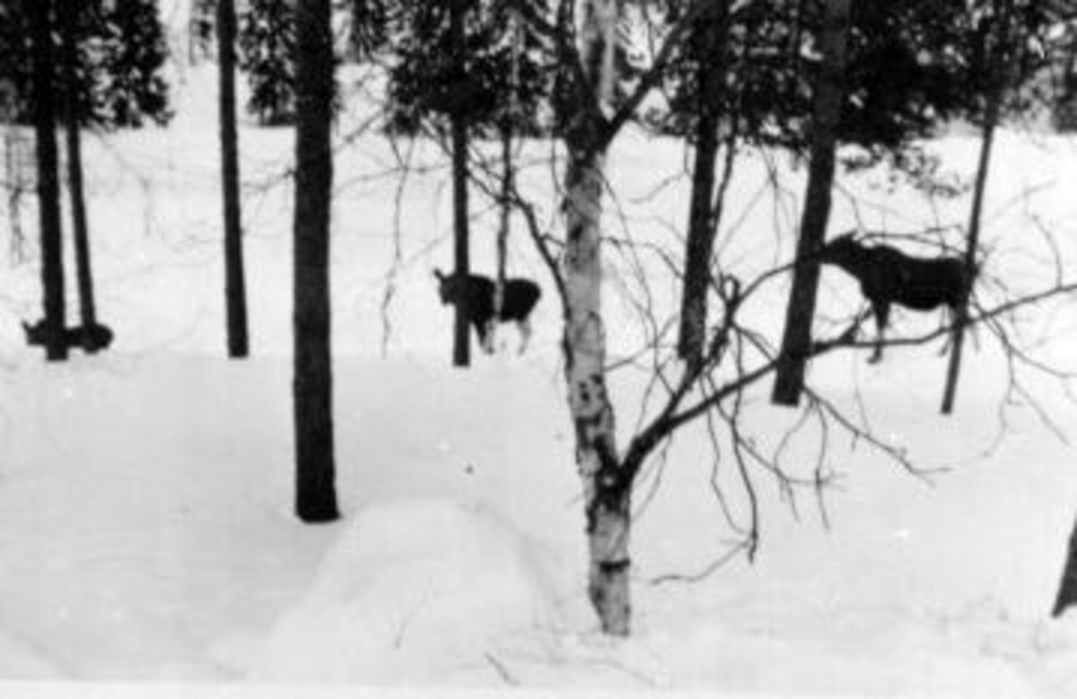 Elg i vinterskogen i Ringsaker Almenning.