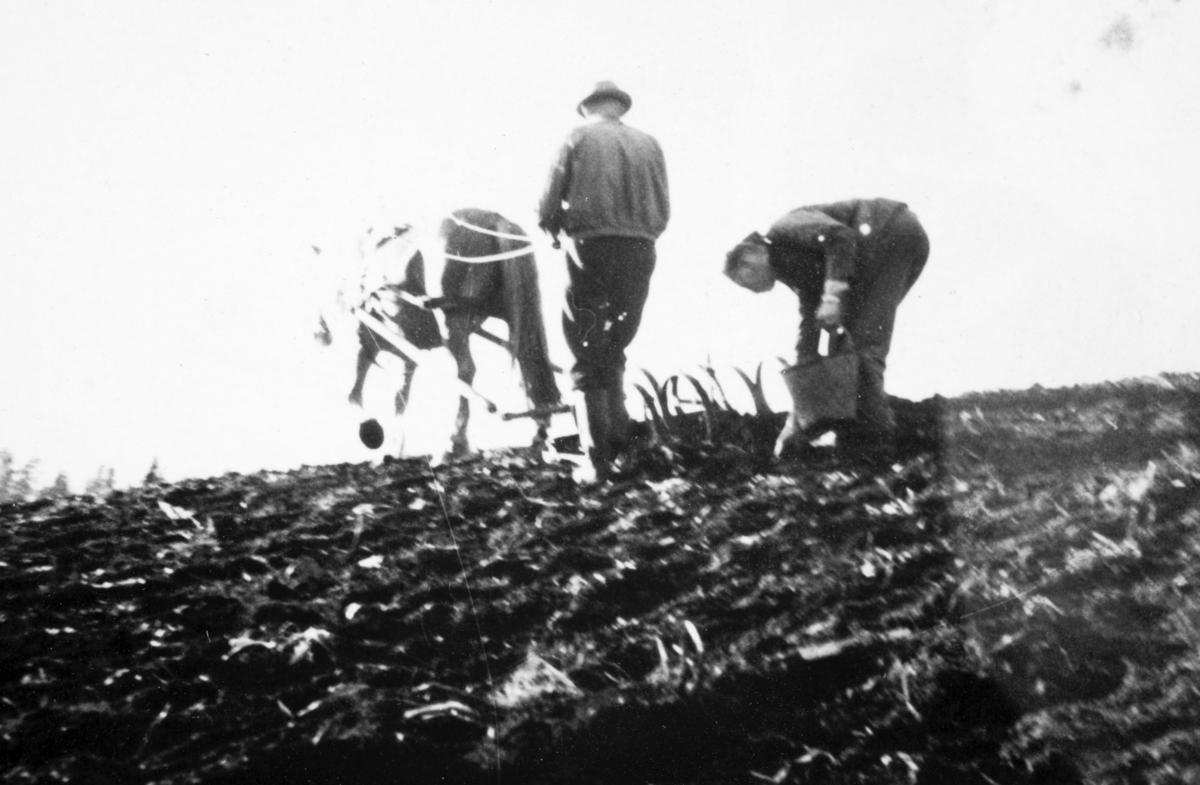 Doksrud og Heggelund plukker stein etter harva. Våronn. AT-tjeneste på Ådalsbruk i Løten, 26. august 1942 til 26. november 1942. Arbeidsdistrikt nr. 1. Arbeidsfylking IV. Sveit nr. 5. Forleggingssted Ådalsbruk. Arbeidstjenesten under 2. verdenskrig.