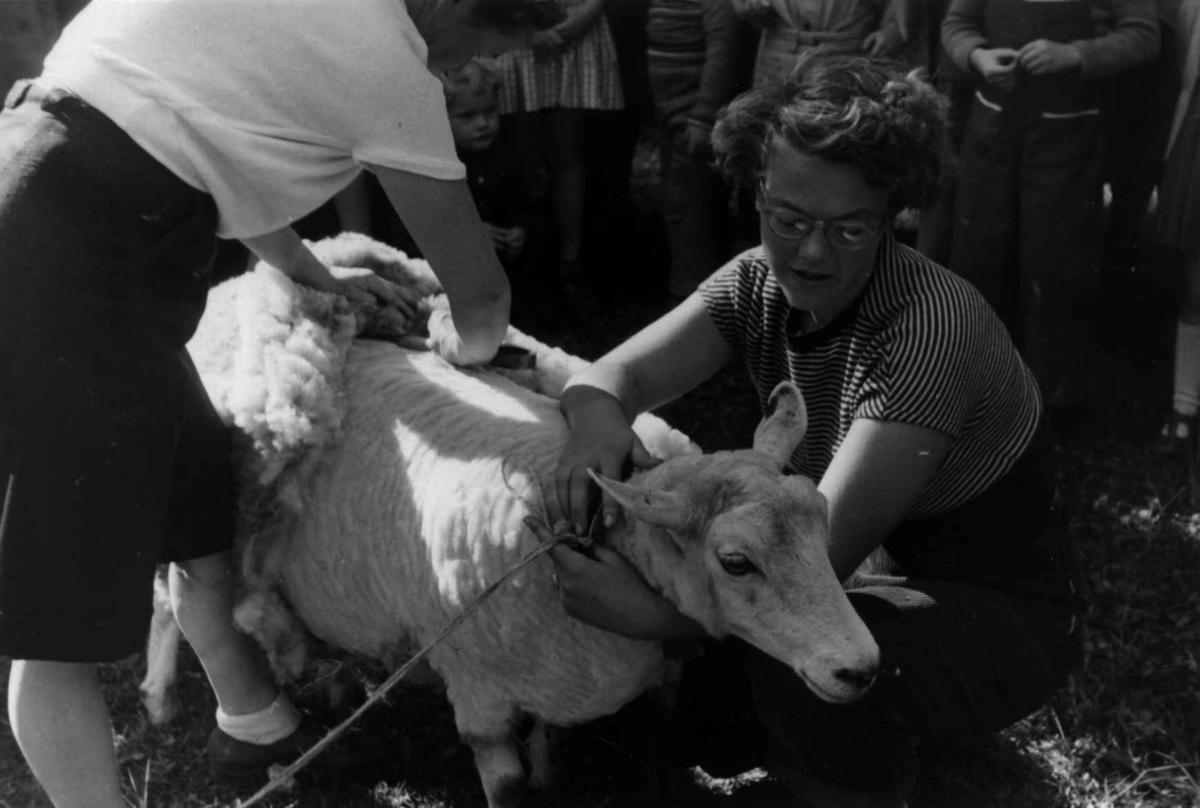 Saueklipping 1951.