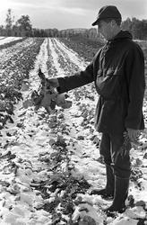 Serie. Uår i jordbruket i Tana, Finnmark. Fotografert sept.