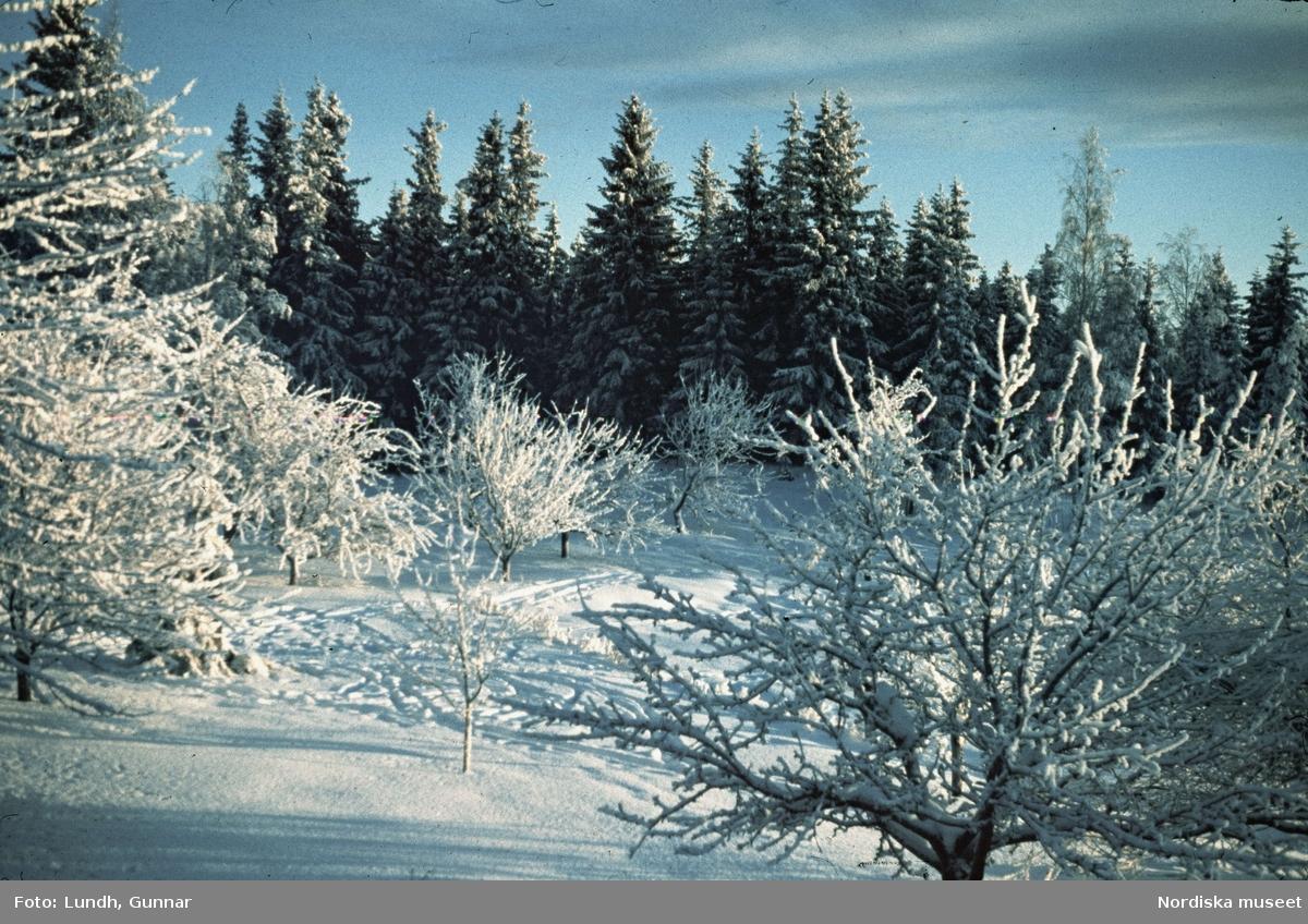 Dalarna. Tällberg i snö med fruktträd och granar.