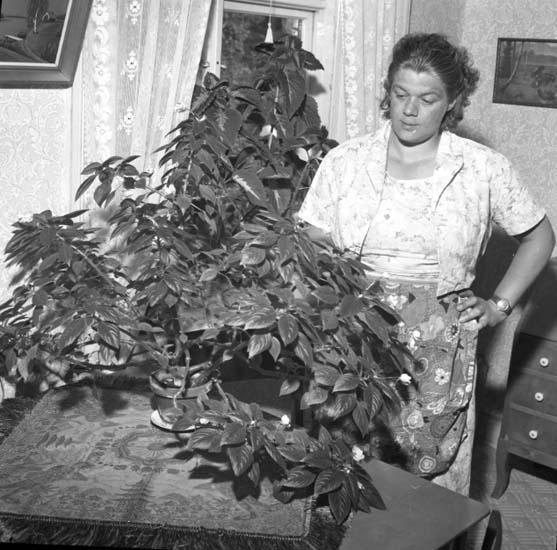 """""""Blomma Lisa 28 juli 1959"""" enligt notering."""
