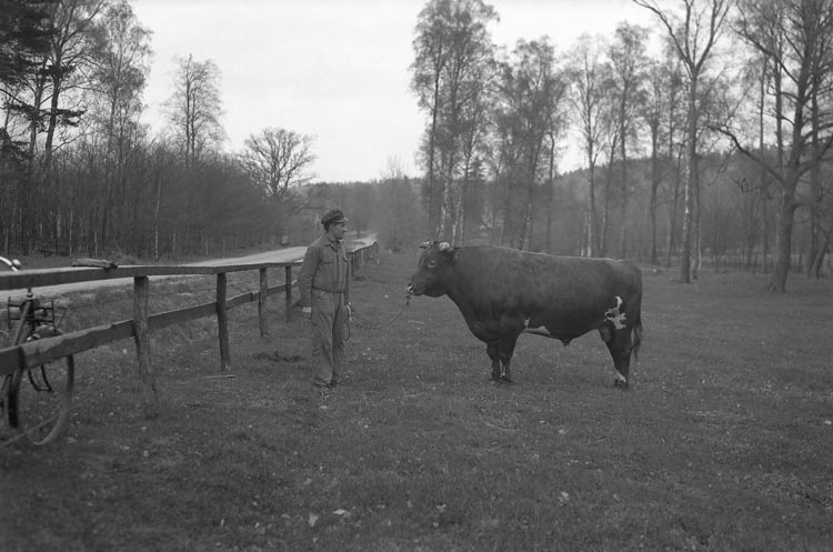 """Enligt fotografens noteringar: """"9. 1935. Djur från Torps Gård."""""""