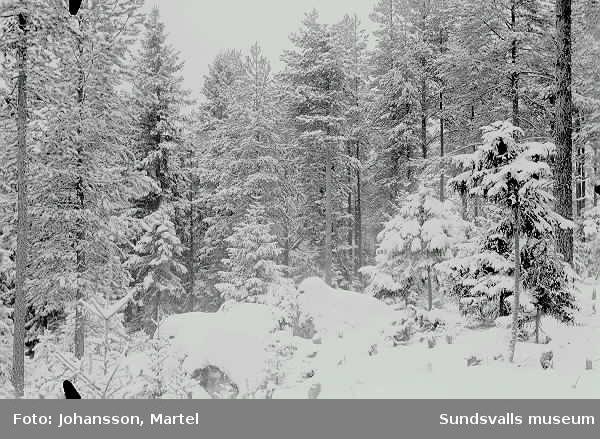 Attmar. Skog i vinterskrud.