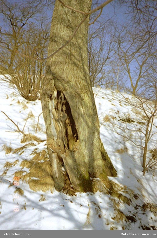 Gammalt träd i Gunneboparken.