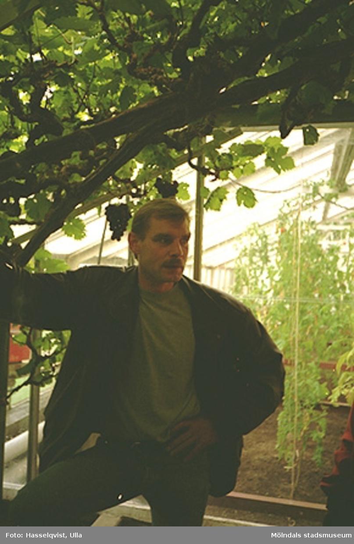 """Papyrus trädgårdsmästare Urban Södergren står i ett växthus, september 1994.""""Wallenbergs druvor"""" i bakgrunden, Kvarnbygatan 2B."""