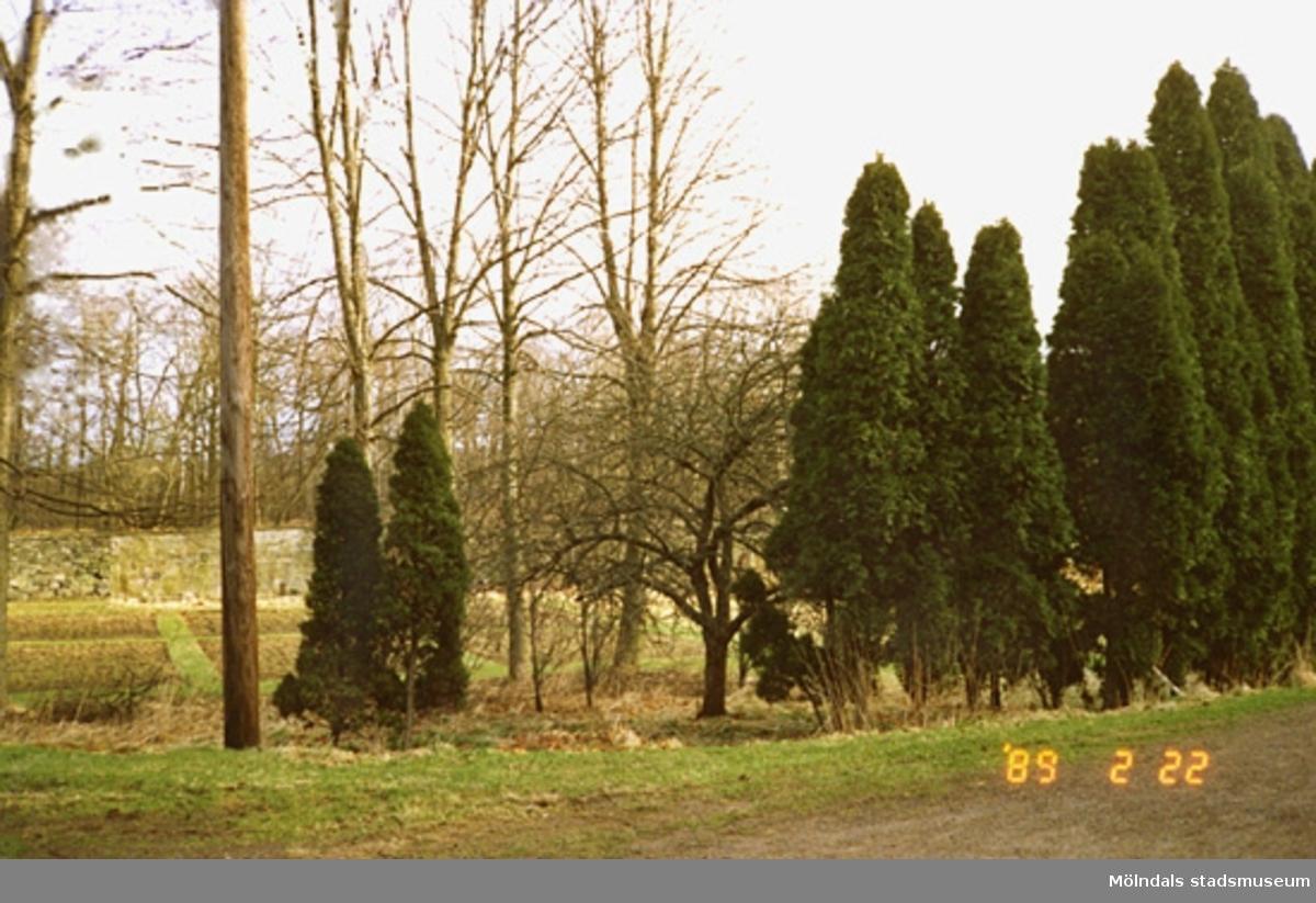 Flera höga Thujor/Cypresser samt en stenmur och skogsbygd i bakgrunden.