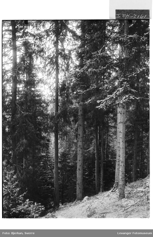 Hugstmoden skog I
