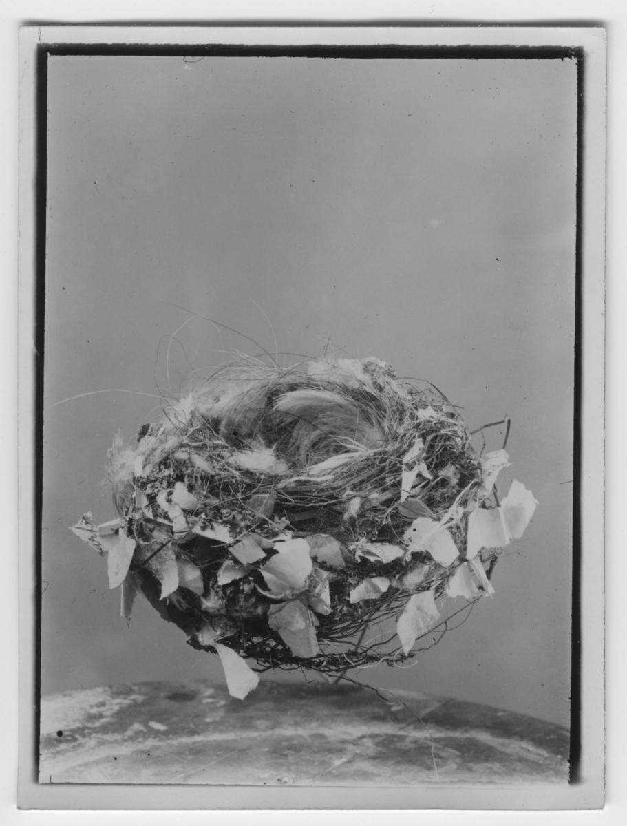 Bofink, bo. Närbild. Fynddatum: 1928-06-12.