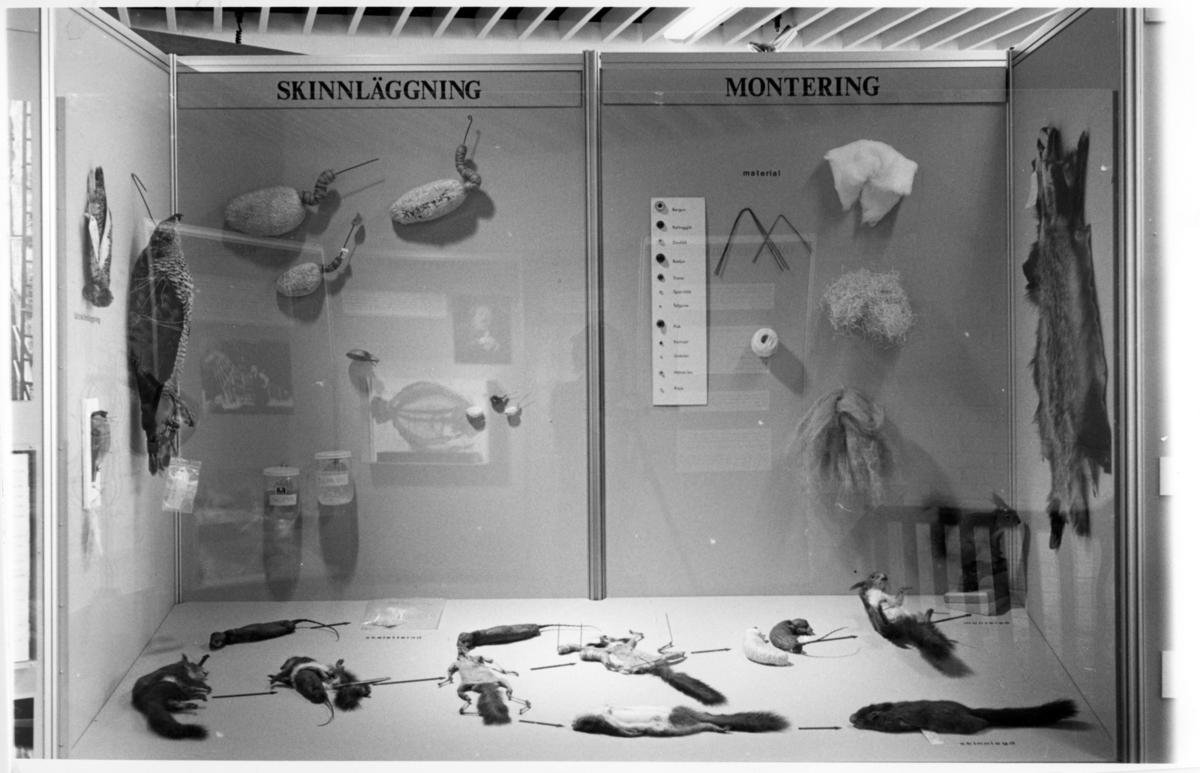 'Foto på Jubileumsutställningen, Göteborgs Naturhistoriska museum 150 år. ::  :: Monter från utställningen med exempel på såväl skinnläggning som montering av djur, bla: Lagopus lagopus: Av.su. 7269, Domherre: 1983 - 16.151, Duvhök: 1980 - 15.355, Ekorre: Coll.au 10.511.'