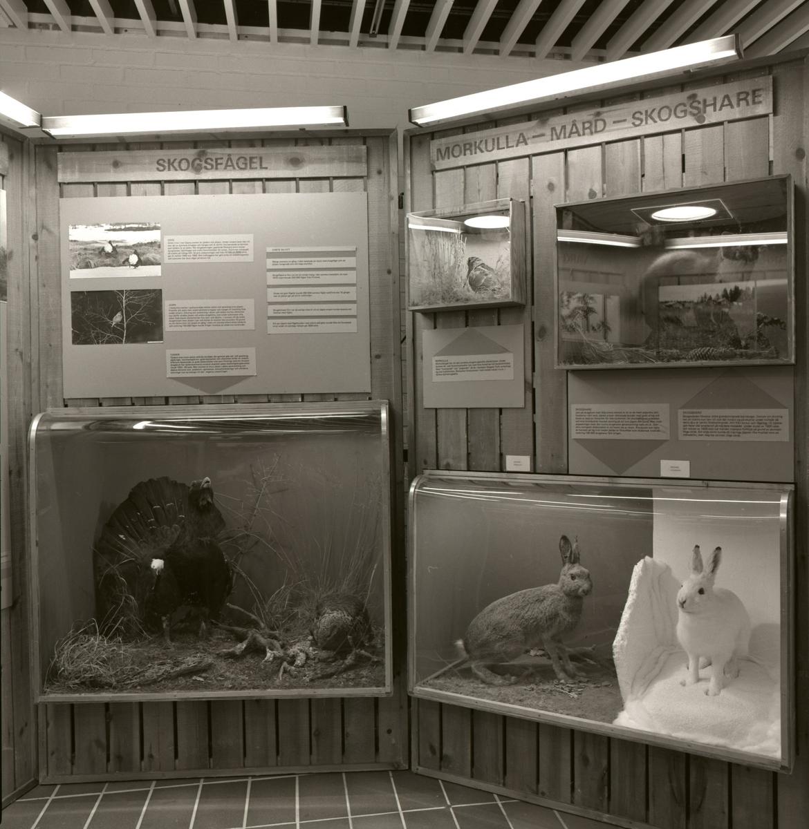 'Utställningen '' Viltet genom 150 år'' från Riksmuseet: ::  :: Utställningsskärmar med bilder och texter med rubriker ''Skogsfågel'' och ''Morkulla - Mård - Skogshare''. Monterad skogshare och tjäder. ::  :: Ingår i serie med fotonr. 5796:1-12.'