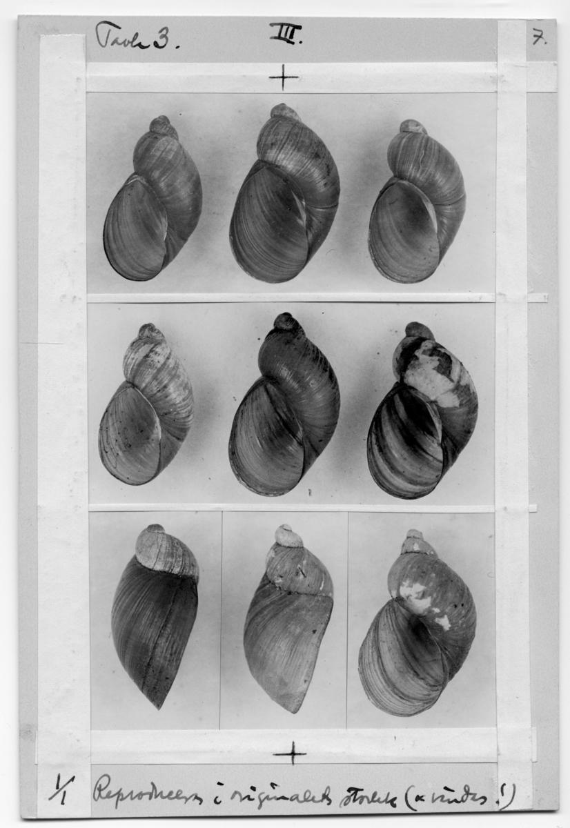 'Foto till ''Landmollusken aus Island gesammelt von Dr Carl Lindroth: ::  :: 9 snäckskal.''Tavla 3''. ::  :: Ingår i serie med fotonr. 7009:1-3 med foton som tillhör Arkivnr. 1346.'
