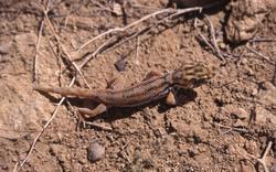 Teratoscincus scincus keyserlingii