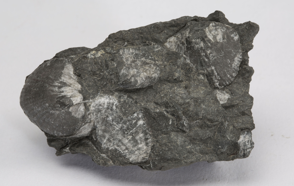Fossil BRACHIOPODE, SILUR