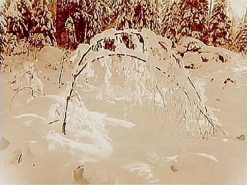 Vintermotiv, snöhöljda furor och granar.
