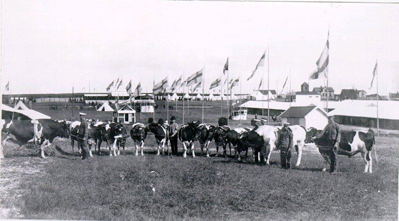 Vid utställningen i Falköping deltog från Dagsnäs denna flock ostfrisiska nötkreatur.